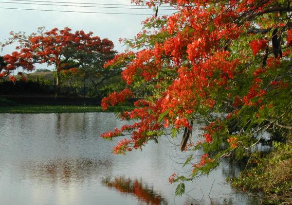 Lago e Flamboyants em flor