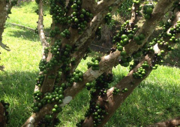 Jabuticabeira com frutos
